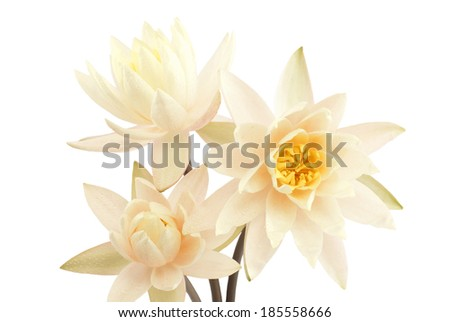 Bouquet of fresh water lilies over white background - stock photo