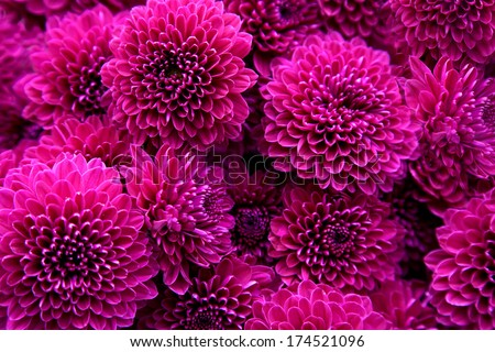 Bouquet of magenta dahlias. Floral pattern.