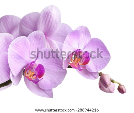 bouquet of magenta orchids is isolated on white background - stock photo