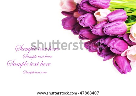 bouquet of many pink and  violet tulips
