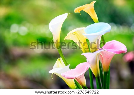 Bouquet of multicolored calla lilies. Floral pattern. Close-up. Abstract background - stock photo