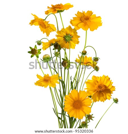 Bouquet of orange daisy herbera isolated on white background