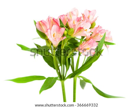 bouquet of pink alstroemeria isolated on white background. Small DOF. - stock photo