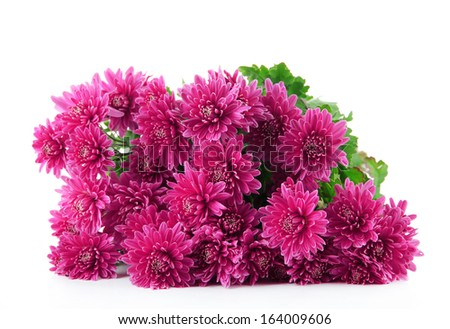 Bouquet of pink autumn chrysanthemum isolated on white
