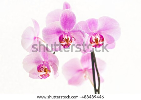 bouquet of pink orchids phalaenopsis on white background.