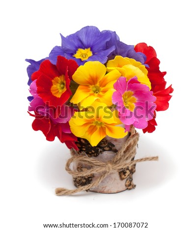 bouquet of primula flowers isolated on white background - stock photo