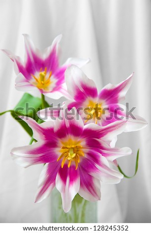bouquet of red and white tulips - stock photo