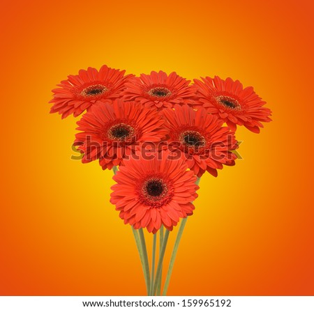 bouquet of red flowers (african daisy) - stock photo