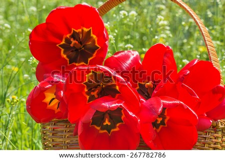 Bouquet of red tulips in a wicker basket in the spring garden on a sunny day, backlit - stock photo