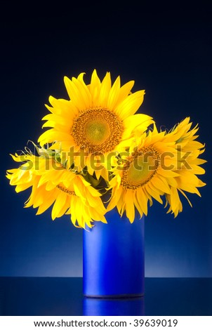 bouquet of sunflowers in a blue vase isolated over a blue background - stock photo