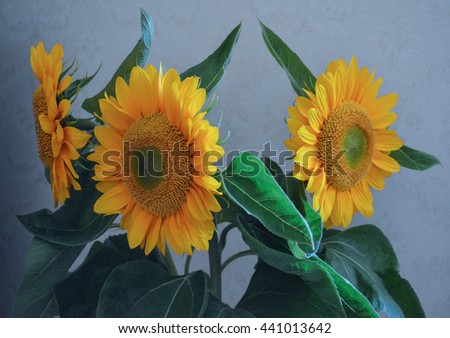 Bouquet of the big beautiful sunflowers on the blue background. Still life garden flowers. Huge yellow petals, green leaves.Botanical composition for calendars, postcards design, interior decoration.