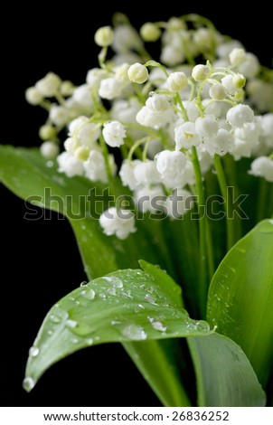 Bouquet of the lily of the valley on black background. Shallow DOF. - stock photo