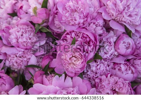 The Pink Peonies New Pink Peonies On White Wooden Background Stock Photo 554700790 Design Decoration