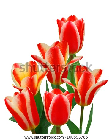 Bouquet of tulip on a white background