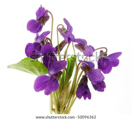 bouquet of violets  isolated on white background - stock photo