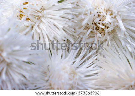 Bouquet of white asters in the garden closeup - stock photo