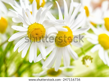 Bouquet of wild Chamomile, close-up - stock photo