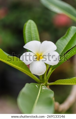 bouquet of yellow plumeria or frangipani flower on tree in garden.