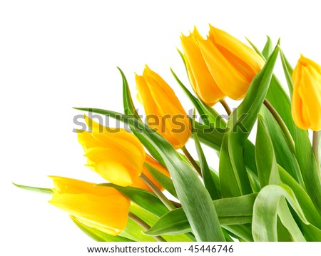 Bouquet of yellow tulips in the bottom right corner. Isolated on white background. - stock photo