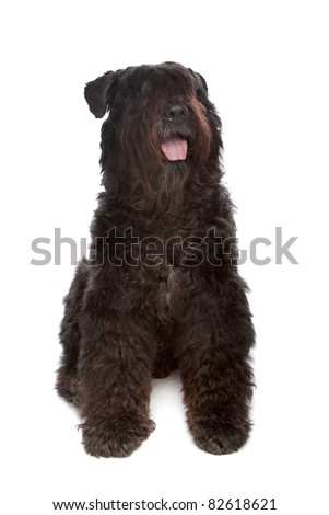 Bouvier des Flandres in front of a white background - stock photo