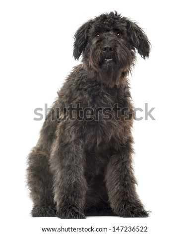 Bouvier des Flandres sitting, isolated on white - stock photo
