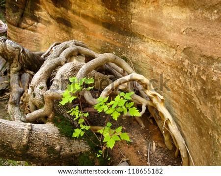 Box Elder Roots - stock photo