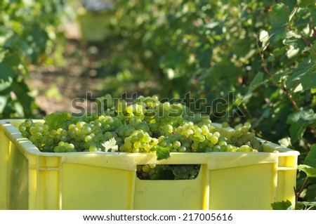box filled with white grapes in a vineyard - stock photo