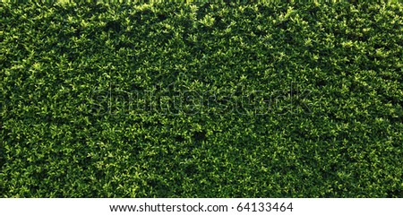 Box hedge with green leafs isolated. - stock photo