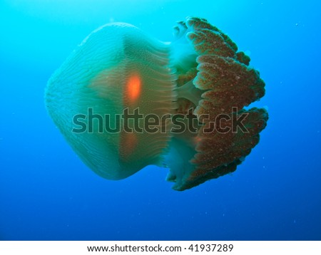 Box jellyfish on Great Barrier Reef Australia