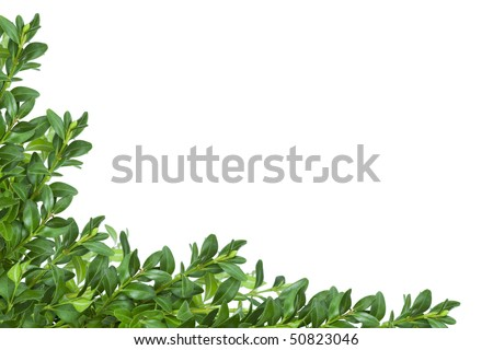 Box twigs border over white. - stock photo
