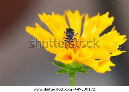 Boxelder Bug on yellow Coreopsis flower