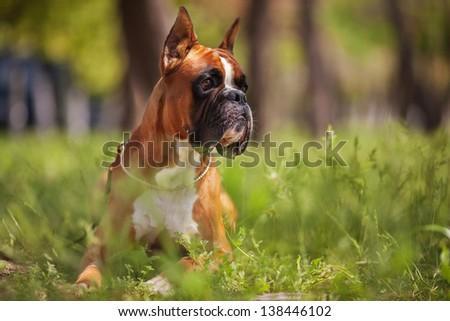 Boxer - stock photo