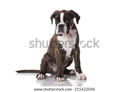 Boxer dog at studio - stock photo