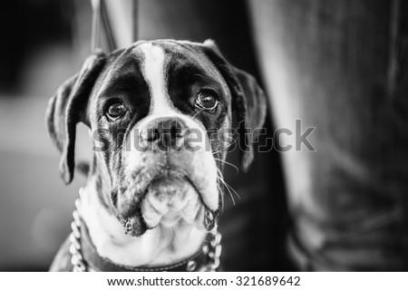 Boxer Dog Close Up Portrait. Black And White Photo - stock photo
