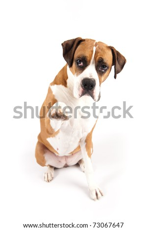 Boxer Dog Giving High Five on White Background - stock photo