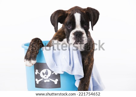Boxer dog inside a bucket - stock photo