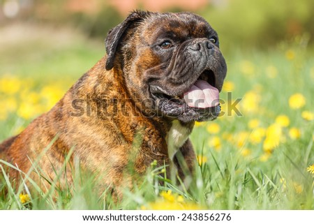 Boxer dog lying in the grass - stock photo