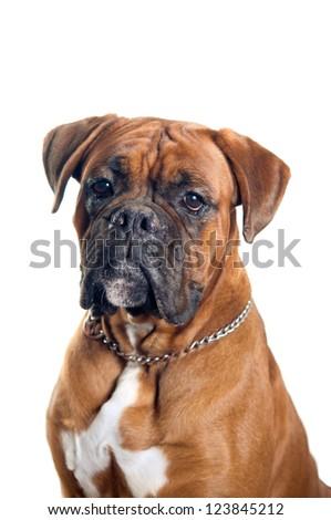 Boxer dog portrait isolated on white background - stock photo