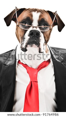 Boxer Dog wearing a suit, red tie and glasses - stock photo