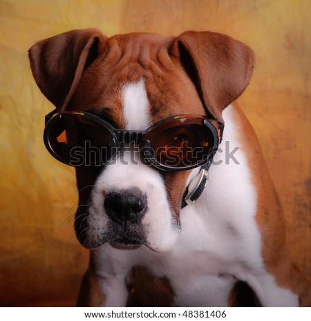 Boxer Dog Wearing Goggle Sunglasses - stock photo