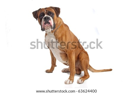 Boxer isolated on white