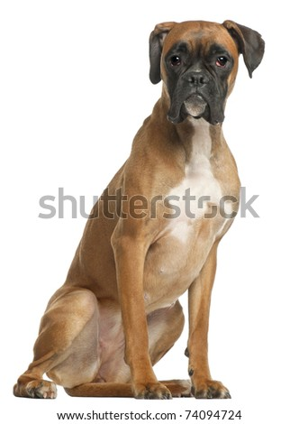 Boxer, 12 months old, sitting in front of white background - stock photo