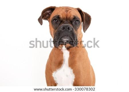 Boxer portrait on white background  - stock photo