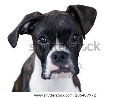 boxer puppy face close up - stock photo