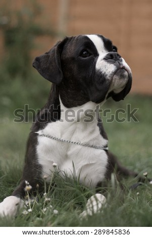 Boxer puppy resting - stock photo
