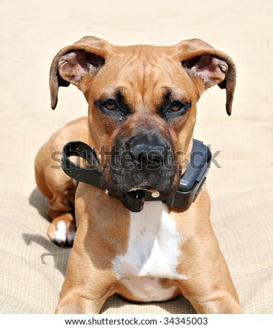 Boxer puppy with electrical collar - stock photo