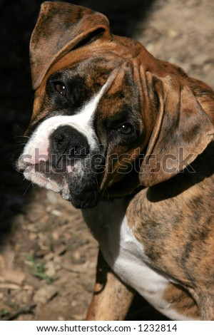 boxer puppy with head cocked