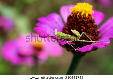 boxing grasshopper in forest