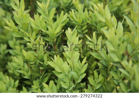 Boxwood (Buxus) - stock photo
