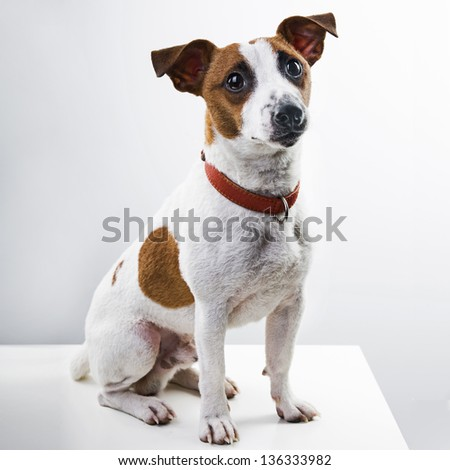boy dog breed Jack Russell Terrier sits on a white background